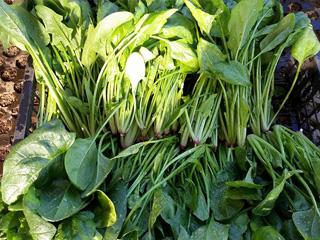 イベント - 春野菜の収穫 2~6月