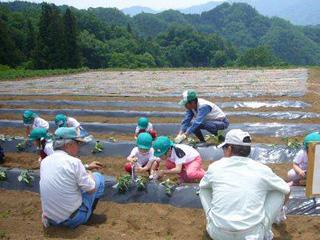 イベント - サツマイモの苗植え 5月
