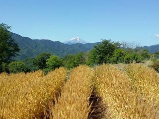 イベント - 小麦「エコ美人」の収穫 6月