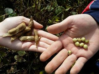 イベント - 大豆の収穫 11月