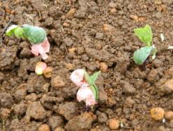 「スゴイダイズ畑」による大豆栽培を開始