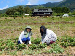 貸農園で農業体験を楽しんでいます。