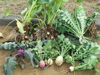 イベント - 秋野菜の収穫 9月~12月