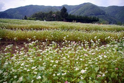 「ミャンマー蕎麦(ロンタン種)」栽培の記録
